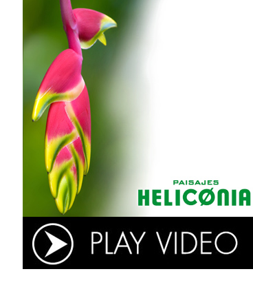 PLAYVIDEO heliconia